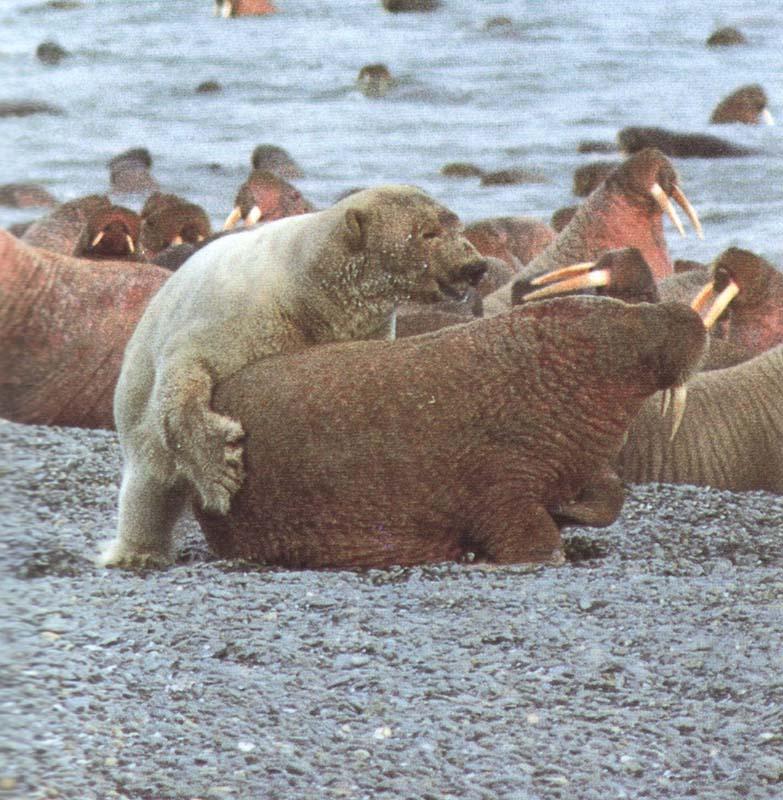Арктика. Расположение метеостанций. Fauna_12