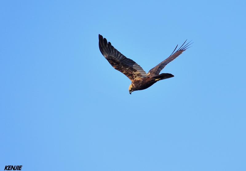 mon abc des oiseaux 115_bu11