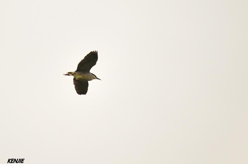 mon abc des oiseaux 43_bih10