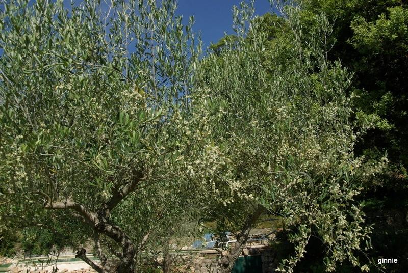 La culture et l'entretien de l'olivier- -Olea Europea - Page 4 Imgp6434