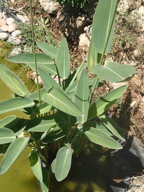 Les plantes aquatiques P6300810