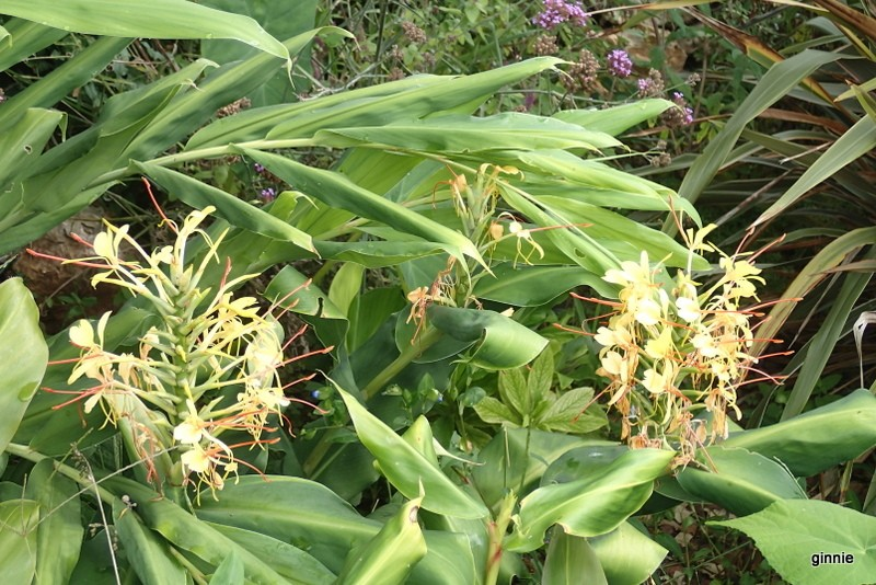 La culture et l'entretien des Hedychiums ou Gingembre sauvage P9211111