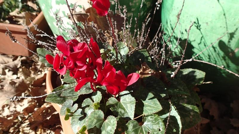 Floraisons de décembre  - Page 7 Pc111212
