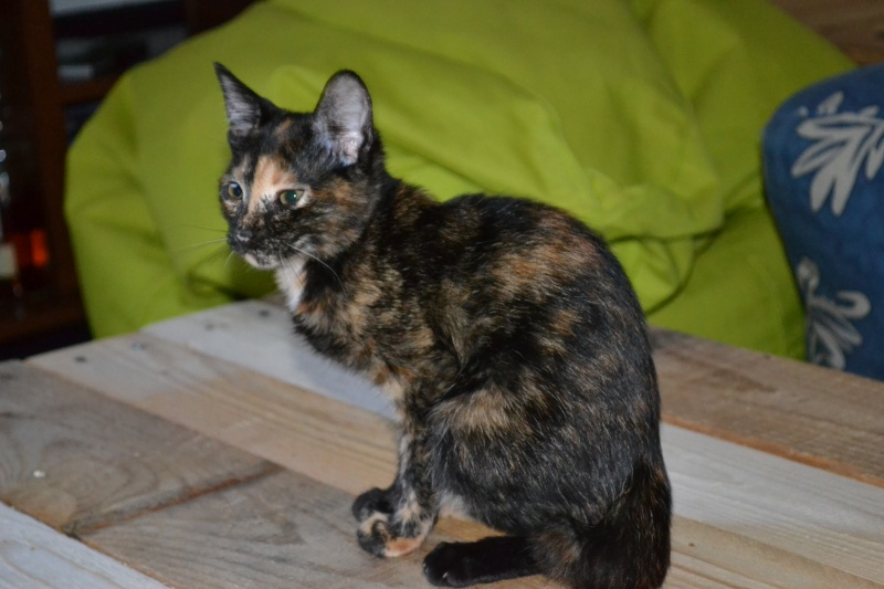 ADOPTEE Chloé chaton femelle Dsc_6212
