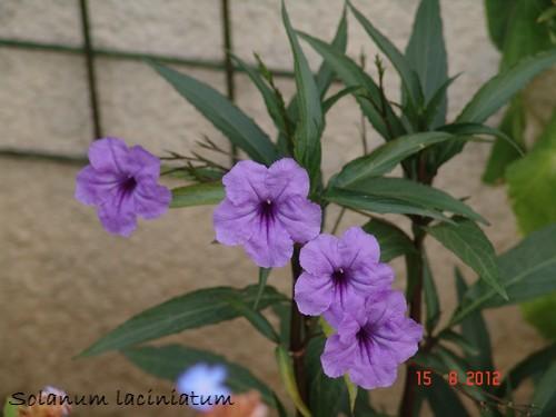 Solanum laciniatum, Solanum aviculare, Ruellia - confusions Dsc01011