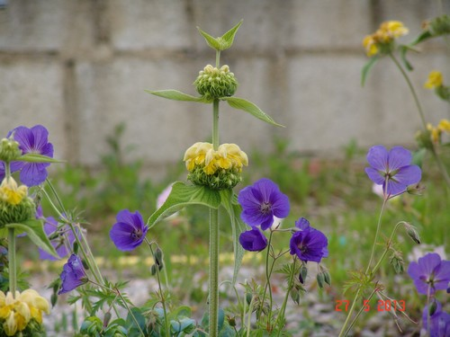 massifs en bleu - fleurs bleues et belles associations Dsc02410