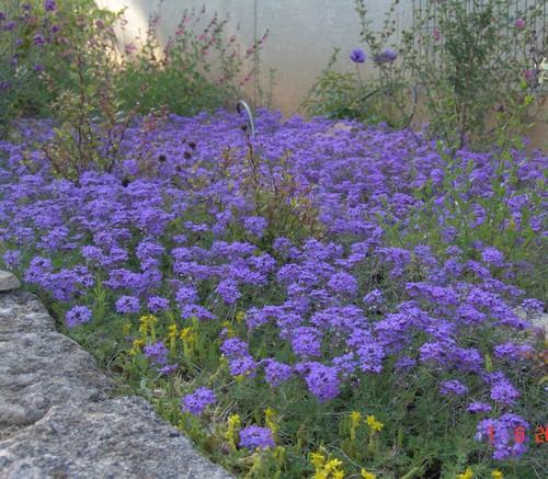 massifs en bleu - fleurs bleues et belles associations Dsc02510