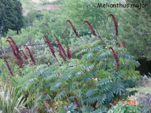 Melianthus major - grande mélianthe Dsc03912