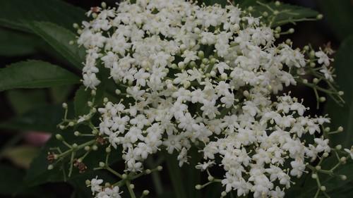 Sambucus javanica Dscn2822