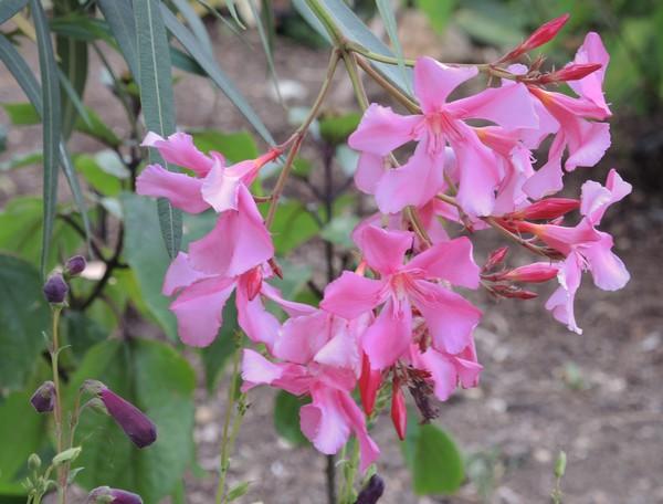 Nerium oleander - laurier rose Dscn2827
