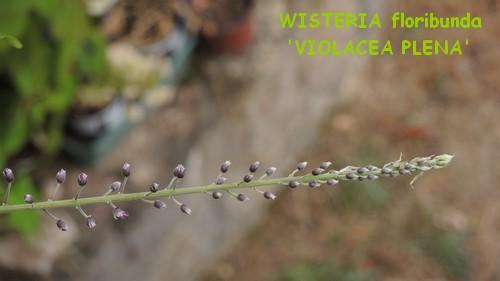 Wisteria - les glycines  - Page 2 Dscn2913