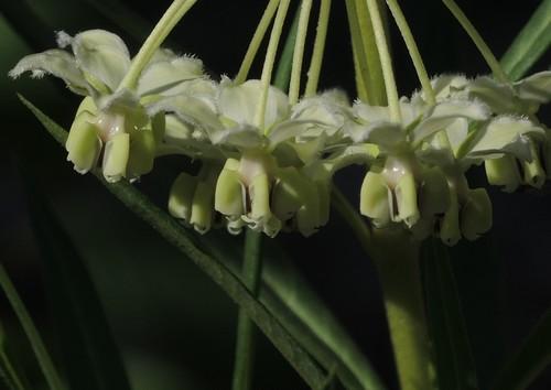 Gomphocarpus fruticosus - faux cotonnier Dscn3016
