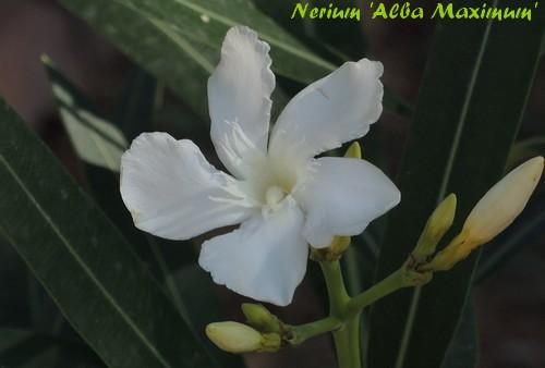 Nerium oleander - laurier rose Dscn3226