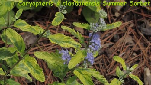 Caryopteris x clandonensis Dscn3229