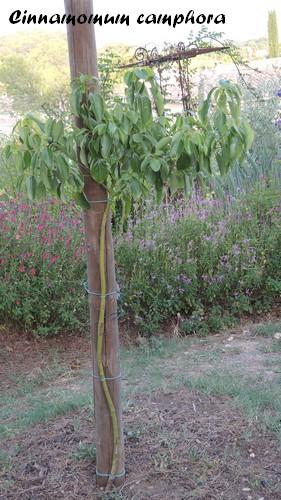 Cinnamomum camphora - camphrier Dscn3310