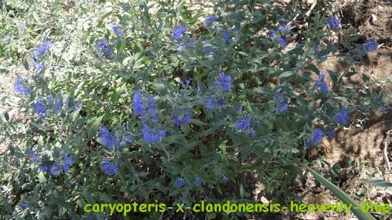 Caryopteris x clandonensis Dscn3318