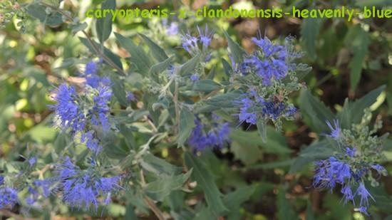 Caryopteris x clandonensis Dscn3319