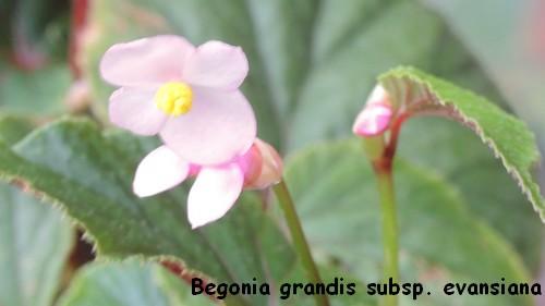 Begonia grandis subsp. evansiana Dscn3413