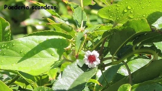 Paederia scandens Dscn3422