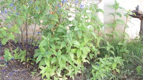 Tinantia erecta - tinantie dressée Dscn3515