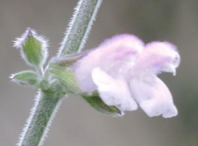 Salvia - les floraisons du moment - Page 11 Dscn3618