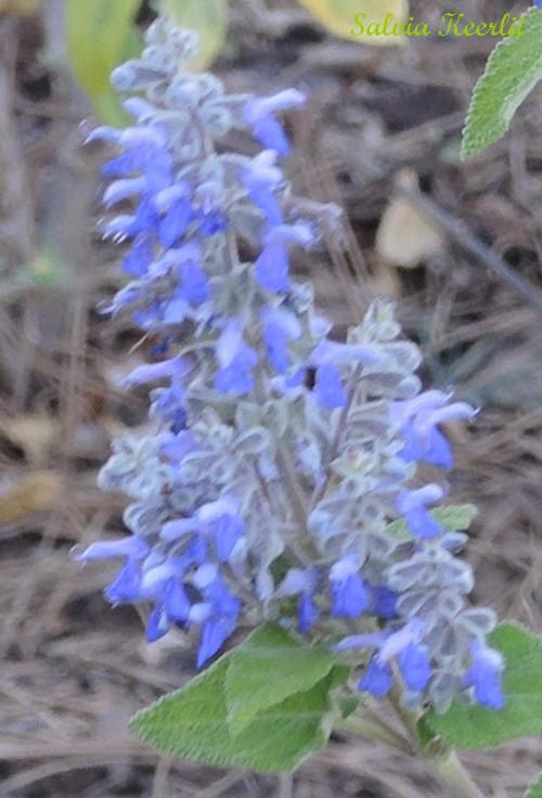 Salvia - les floraisons du moment - Page 12 Dscn3715