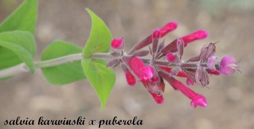 Salvia - les floraisons du moment - Page 12 Dscn3716