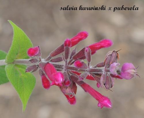 Salvia - les floraisons du moment - Page 12 Dscn3717