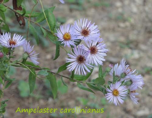 Ampelaster carolinianus Dscn3718
