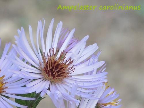 Ampelaster carolinianus Dscn3719