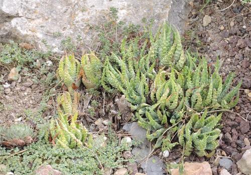 Aloe humilis Dscn3811
