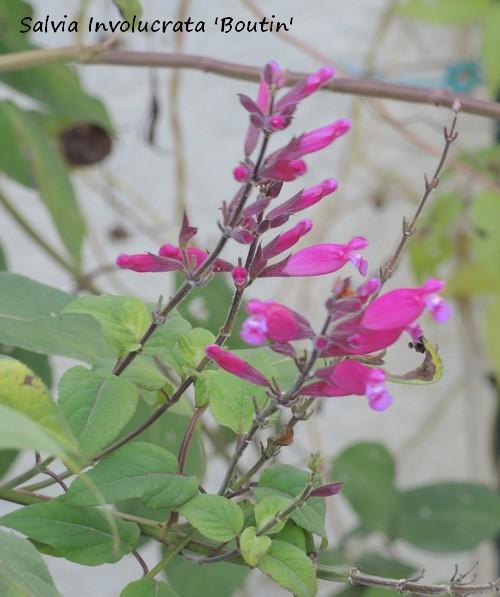 Salvia - les floraisons du moment - Page 13 Dscn3911