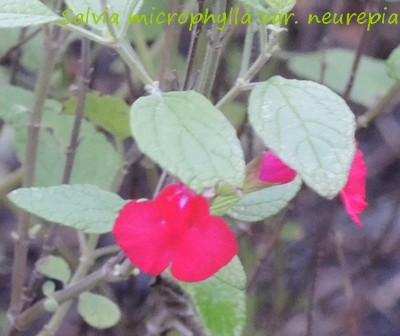 Salvia - les floraisons du moment - Page 13 Dscn3913