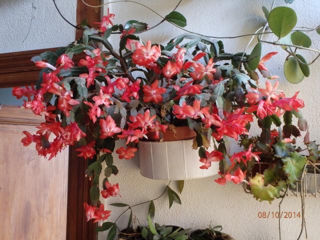 Schlumbergera, ou cactus de noel  - Page 3 Pa080510