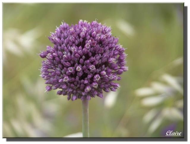 Quelques photos de fleurs sauvages. Ail_de10