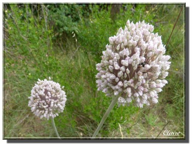 Quelques photos de fleurs sauvages. Ail_ro10