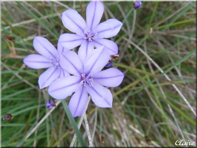 Aphyllante de Montpellier. Aphyla11
