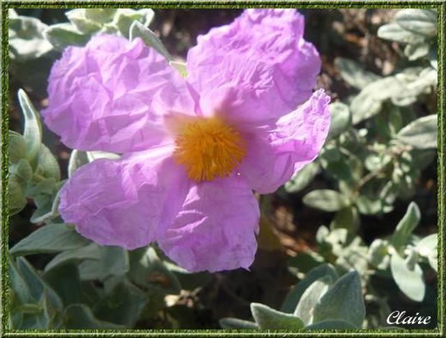Quelques photos de fleurs sauvages. Cyste_10