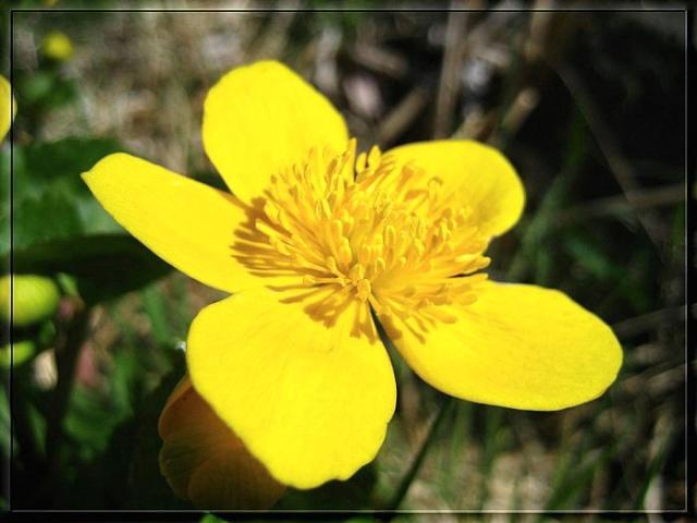 Quelques photos de fleurs sauvages. Popula10