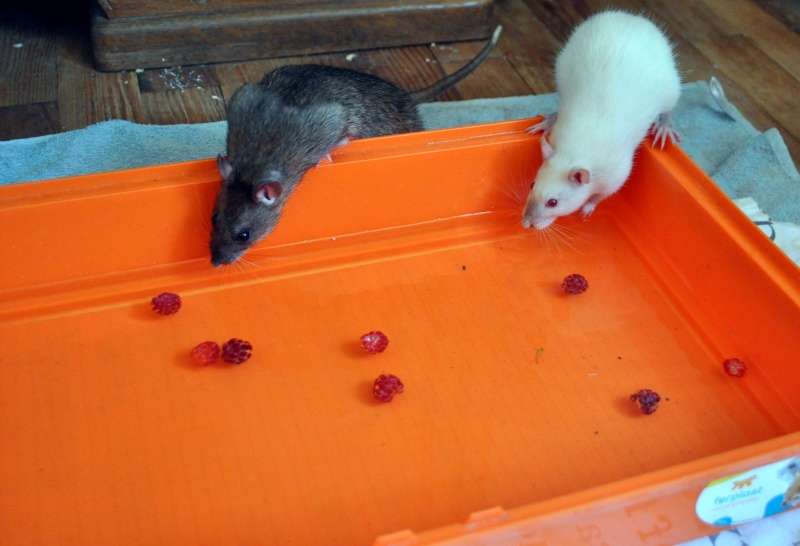 rat'clette et rat'violi  - Page 3 Dsc_0010