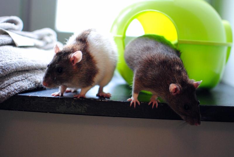 rat'clette et rat'violi  - Page 3 Dsc_0111