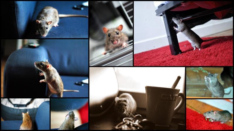 rat'clette et rat'violi  - Page 3 Rat_vi10