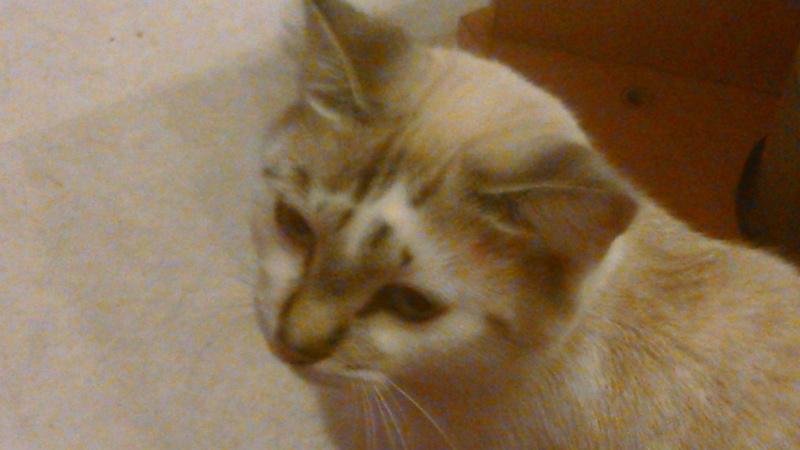 3 chats ont disparus entre le 14 et le 19/10 à Auterive Dsc_0110