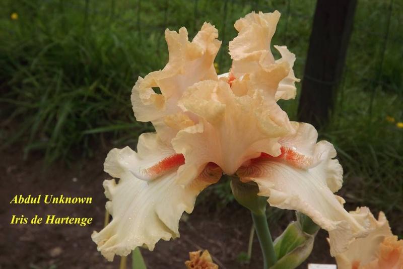 Iris a eperons  Abdul10