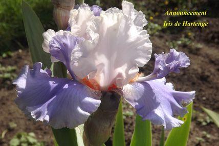 Iris a eperons  Dscf5112