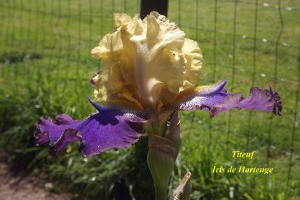Iris a eperons  Dscf5210