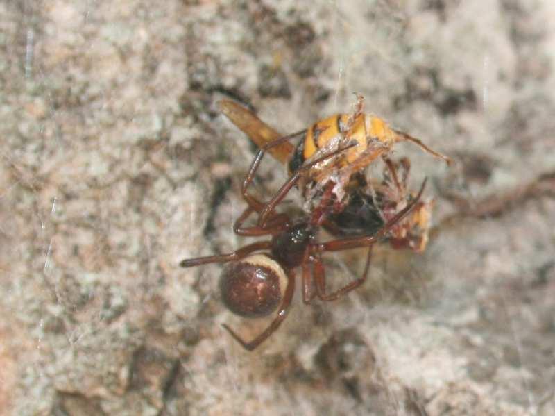 Araignée vs frelon Araign11