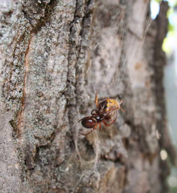 Araignée vs frelon Araign12
