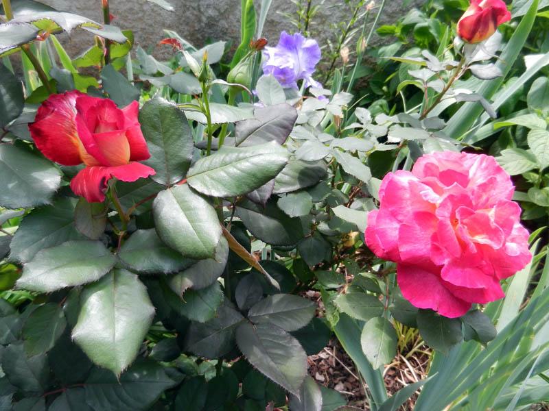 Photos de nos jardins - Page 2 2013-117