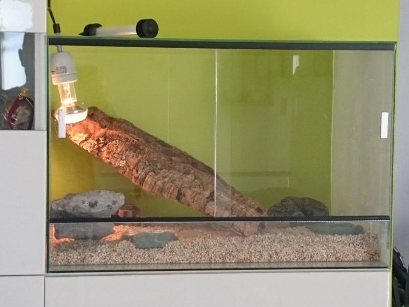 Gecko maigre Dsc_0111
